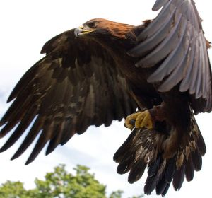 Golden Eagle  Photo courtesy of Tony Hisgett from Birmingham, UK