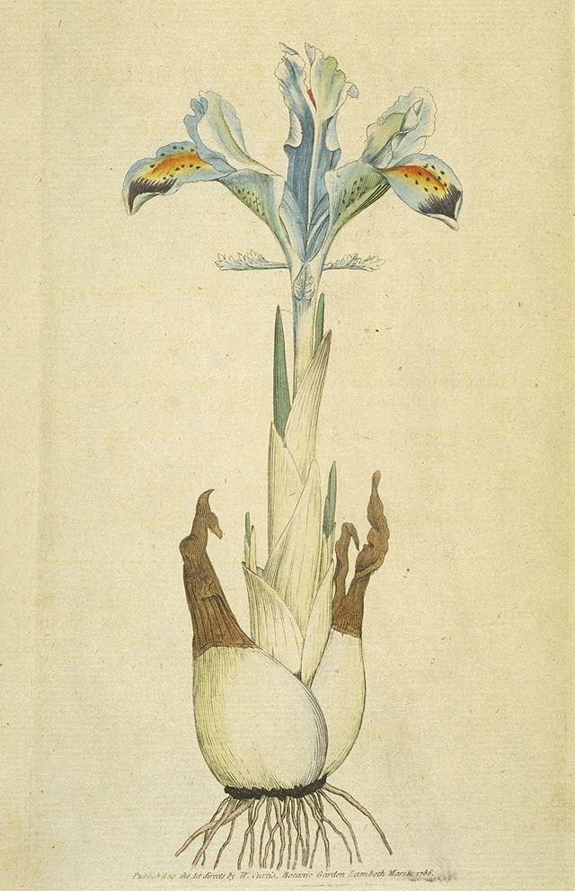 Iris persica, a bulbous iris