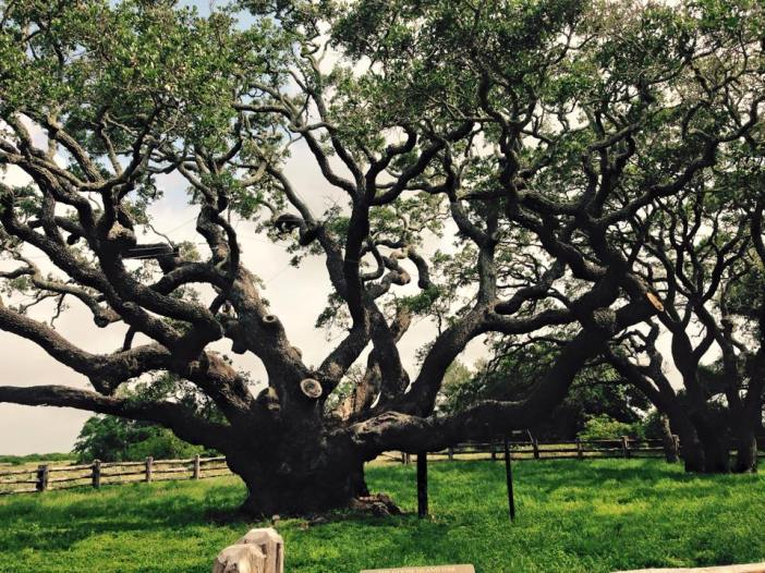 Big Tree, Goose island