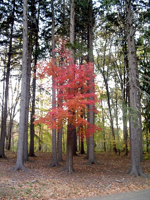 """Maple between pines"" by Remilo - Own work. Licensed under CC BY-SA 3.0 via Wikimedia Commons"