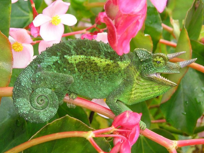 Feral Jackson's chameleon from a population introduced to Hawaii in the 1970s