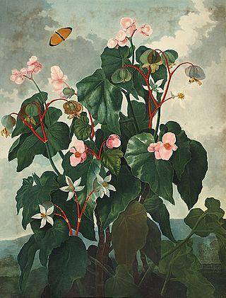 Begonia_obliqua00