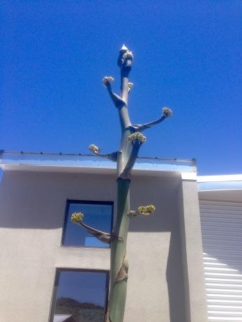 agave mano prieto